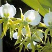 Angraecum-orchids