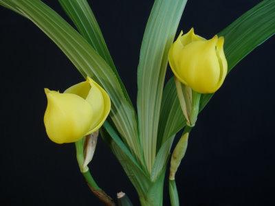 Anguloa Orchids
