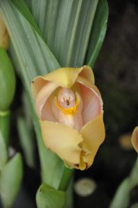 Anguloa Uniflora Orchid