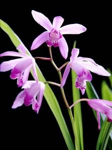 Bletilla Striata Orchid