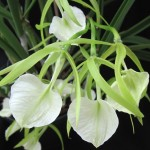 Brassavola's spider shape is as effective for pollination as it is cool to look at.