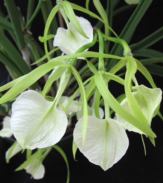 Brassavola Orchids