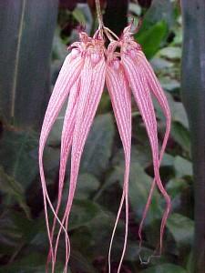 Bulbophyllum Orchids