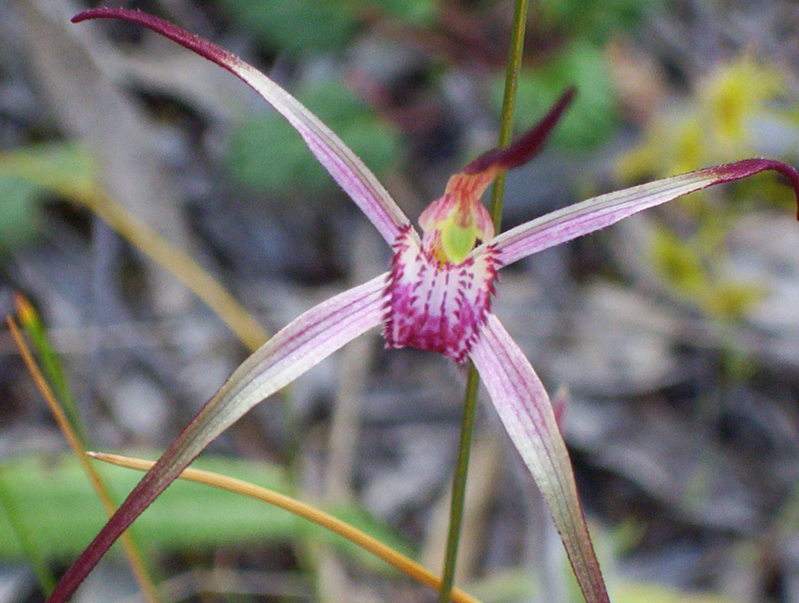 Candy Spider Orchid in full bloom