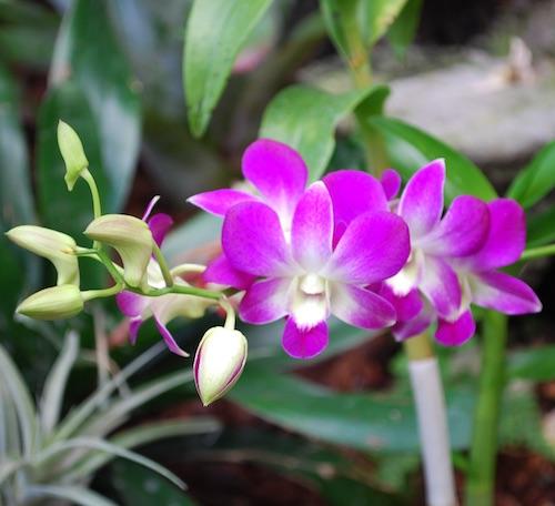 Dendbrobium Orchid