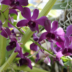 Our Dendrobium Orchid Care Guide