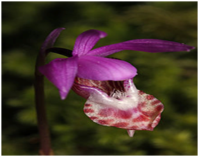 Fairy Slipper Calypso Orchid