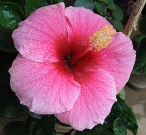 Hibiscus_pink