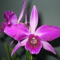 Laelia Orchids