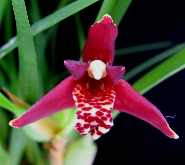 Maxillaria Orchids