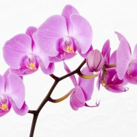 How long do Orchids live