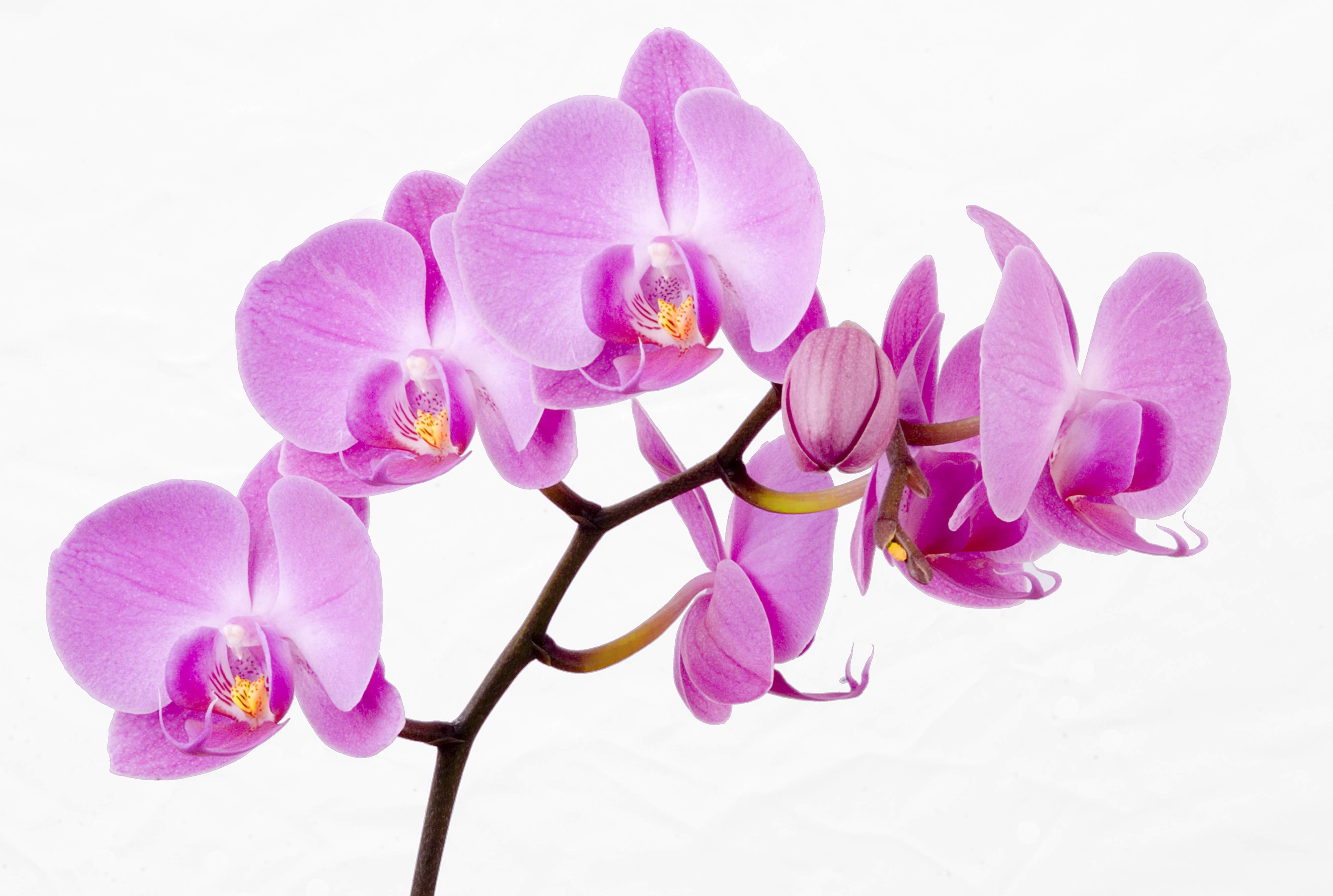 How Long Do Orchids Live Growing Indoors