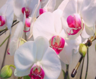orchids-carefully-grown-under-ideal-conditions