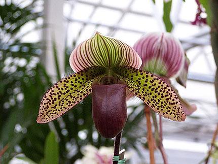 Paphiopedilum Orchid, Lady Slipper