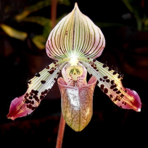 Paphiopedilum Orchids (Lady-slipper)