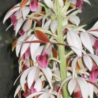 Phaius-Orchids