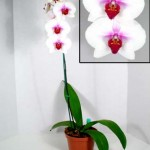 Complete Care Guide to Phalaenopsis Orchid Care
