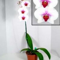 "Phalaenopsis ""the moth orchid"""