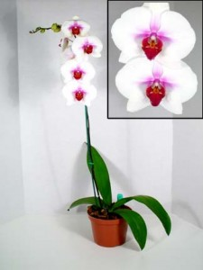 Phalaenopsis the moth orchid 225x300