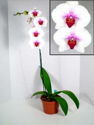 "Phalaenopsis ""the moth orchid"""