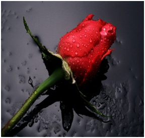Red Rose, the ultimate symbol of love!