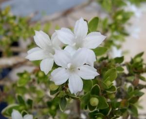 Serissa_foetida_blossom