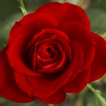 Rose Colors & Meanings
