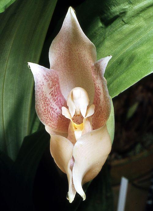 Swaddled Baby Anguloa Orchid