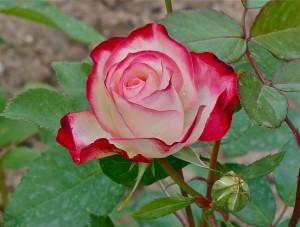 Tea_rose_hybrid_and_bud