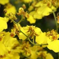 Yellow Oncidium orchid