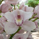 cymbidium_orchids