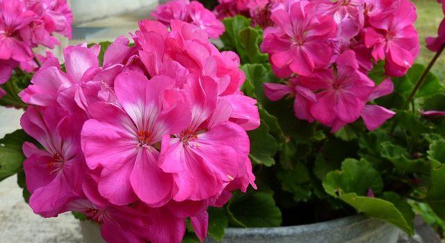 growing flowers in a pot