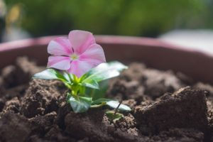 growing potted flowers