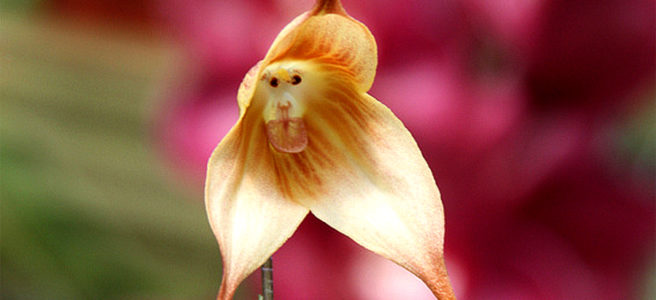 Monkey Orchid Facts
