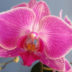 How to Grow and Care for a Moth Orchid