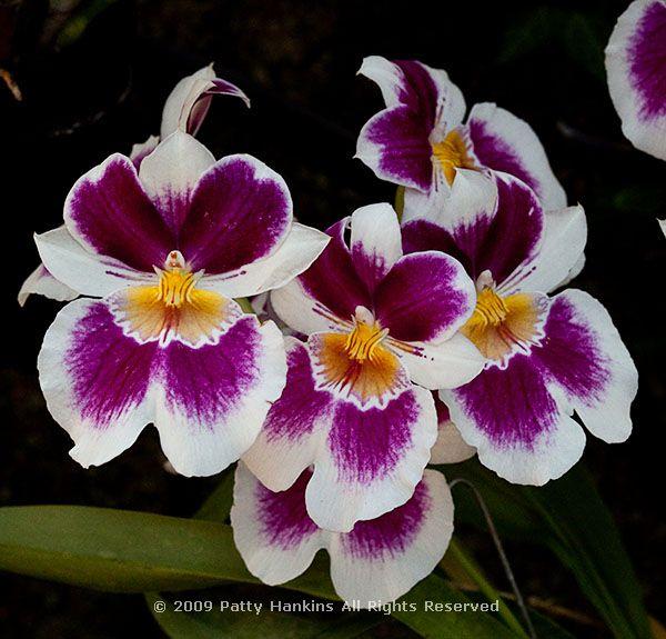 orchid_miltonia