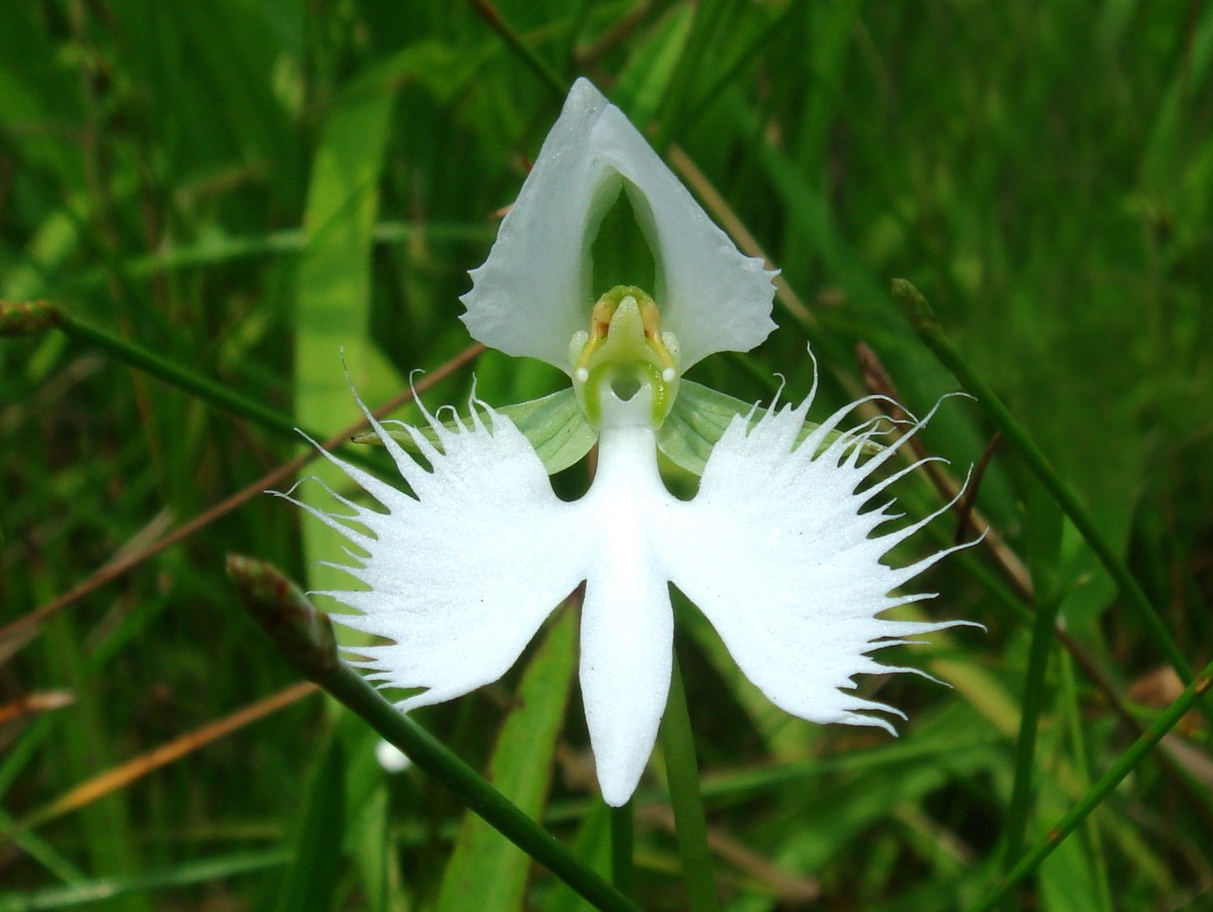 Facts about the White Egret Orchid