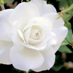 What Do White Roses Mean?