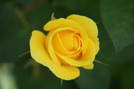 yellow rose flowers for friendship